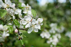Blooming apple tree. Spring garden white flowers blooming apple tree Stock Images