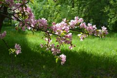 Blooming apple tree in spring. Malus Niedzwetzkyana. Branch with pink flowers on the background of green grass stock photo
