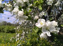 Blooming apple tree in spring Royalty Free Stock Images