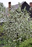 Blooming Apple tree in the spring rain Stock Photo
