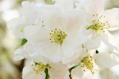 Blooming apple tree in spring time Stock Image