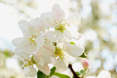 Blooming apple tree in spring time Royalty Free Stock Image