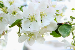 Blooming apple tree in spring time Stock Photography