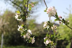 Blooming apple tree in spring time. Beautiful white blossoms Stock Photos