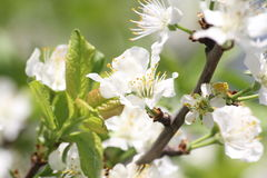 Blooming apple tree in spring time. Blooming apple tree in spring time, flower apple royalty free stock photography