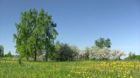 Blooming apple-tree in spring time. Landscape with blossom apple tree, green field and blue sky stock video