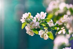 Blooming apple tree in the sun on a blue background stock photos