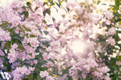 Blooming apple tree with sun flare Stock Photos