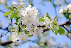 Blooming apple tree in a sunny day. Stock Photo