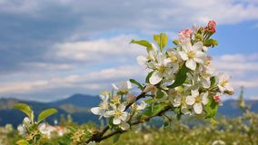 Blooming apple tree with  on sunny day. Closeup of blooming apple tree with  blue sky and mountains on the background on sunny day stock video