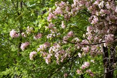 Blooming apple tree on sunny spring day. Beautiful spring pink blossom. S. Branch with flowers of Malus niedzwetzkyana stock image