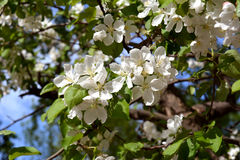 Blooming apple tree in sunny spring day. Beautiful white flowers stock images