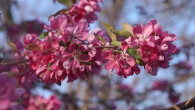 Blooming Apple Tree at Sunset. Fruit Tree Branch with Pink Flowers Swaying in the Wind stock footage