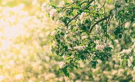 Blooming apple tree in sunset. In the middle of old country farm. Preparing for summer harvest. Green leaves of appletree, white flowers, yellow, orange shadows Royalty Free Stock Image