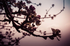 Blooming apple tree in sunset Royalty Free Stock Photo