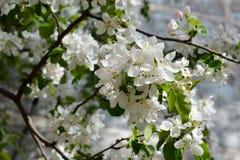 Blooming apple tree. Tender white flowers in spring. City greening royalty free stock image
