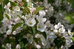 Blooming apple tree. Tender white flowers in spring park.  Stock Photos