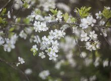 Blooming apple tree with tiny white flowers royalty free stock image