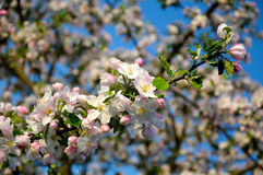 Blooming apple-tree twig. Beautiful background of a apple blossom twig Stock Image
