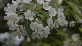 Blooming apple tree twig. Close-up shot of spring apple tree blossom. Twig with white flowers waving in the wind stock video footage
