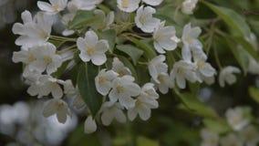 Blooming apple tree twig stock video footage