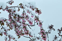 Blooming apple tree under the snow Stock Image