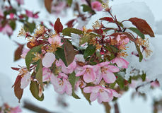 Blooming apple tree under the snow Stock Photos