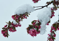 Blooming apple tree under the snow Stock Photo