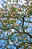 Blooming apple tree wallpaper / background Stock Image