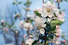 Blooming Apple Tree. Warm color beautiful toned images Royalty Free Stock Photos