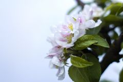 Blooming Apple Tree. Warm color beautiful toned images Royalty Free Stock Image
