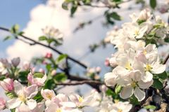 Blooming apple tree. Warm color toned image Royalty Free Stock Images