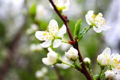 Blooming Apple tree with white flowers royalty free stock photography