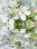 Blooming apple tree. White flowers of apple tree reflected in a water surface  in a spring garden in the early morning Stock Photography