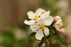 Blooming apple tree. With white and pink flowers Royalty Free Stock Images