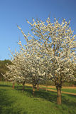 Blooming apple-trees. In the garden Royalty Free Stock Photo