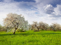 Blooming apple trees Royalty Free Stock Image