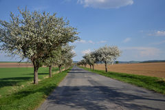 Blooming apple trees Royalty Free Stock Images