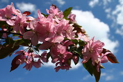 Blooming apple trees. A branch of apple blossoms paradise Royalty Free Stock Photography