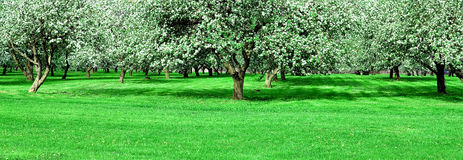 Blooming apple trees garden Stock Images