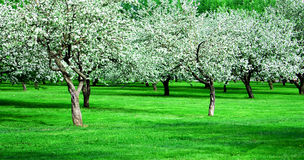 Blooming apple trees garden Royalty Free Stock Photo