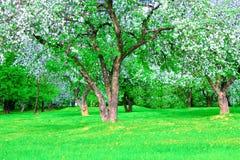Blooming apple trees garden Royalty Free Stock Photos