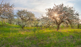 Blooming apple trees in the garden Stock Image