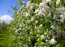 Blooming apple trees Royalty Free Stock Photos