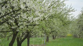 Blooming apple trees in the garden.  stock video