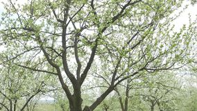 Blooming apple trees in the garden.  stock video footage