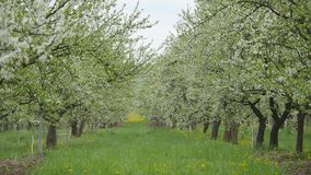 Blooming apple trees in the garden.  stock footage