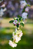 Blooming apple trees. The garden blooming apple trees, colorful background Royalty Free Stock Image