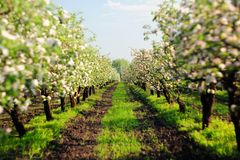 Blooming apple trees garden with green grass at sunset Stock Photography