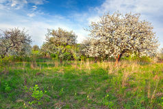 Blooming apple trees in the garden Royalty Free Stock Photos